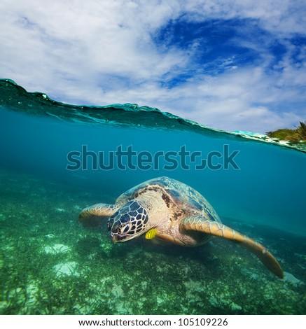 Turtle swimming on the sea bottom  - half underwater shot
