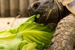 Turtle tortoise eating a salad head eye close macro food plant
