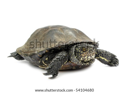 Turtle tortoise pond terrapin isolated on white