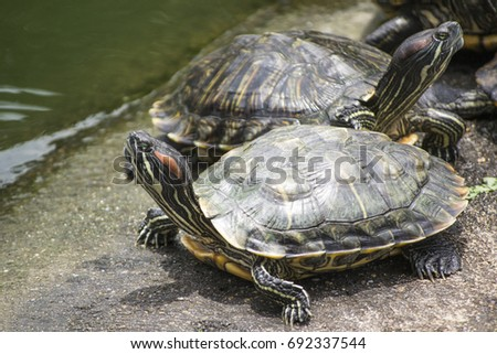 Turtle, Tortoise, Soft-shell turtle  Land turtles, one of the Testudines, are classified in cold blooded fauna. In the reptile layer The turtles are the oldest animals.