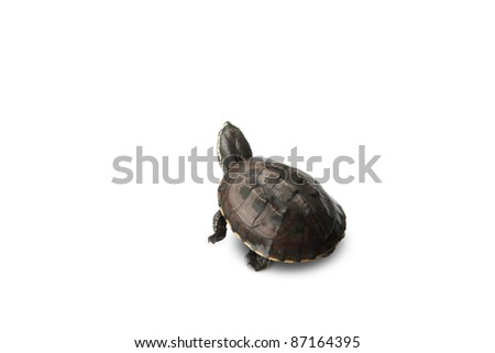 Turtle.Tortoise walking on white background.