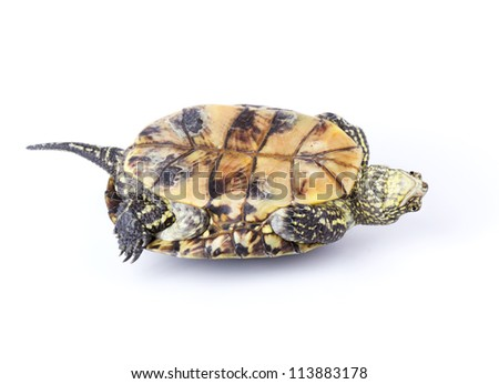Turtle upside down on its back isolated on white