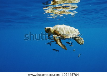 Turtle with fish swimming in sea