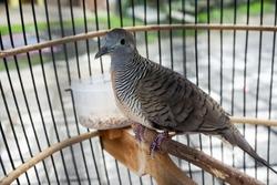 turtledove bird on a cage