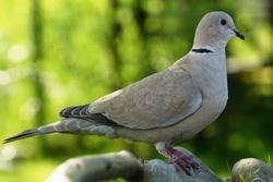 Turtledove, Collared-Dove , Streptopelia decaocto sits on a stone. Czechia. Europe.