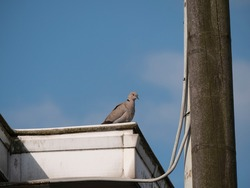 Turtledove sits on a white gutter next to a utility pole and power lines