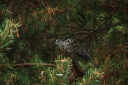 Turtledove sitting on a pine branch, surrounded by needles. Mysterious atmosphere