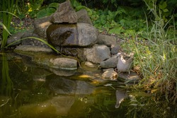 Turtledove stands on a stone on the bank of a beautiful pond. Bird flew to watering hole. Close-up. Nearby there is small waterfall. Water flows from stones into the pond. Wild pigeon in garden pond.