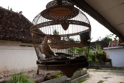 turtledoves in cages, as a cultural symbol of the Javanese Indonesian people placed in front of wooden windows