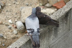 turtledoves lover pigeons beautiful birds