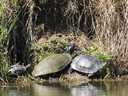 Turtles basking in the sun, along the shores of Howard's Pond, in Elkton, Cecil County, Maryland.
