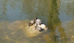 Turtles basking in the sun in Emirgan Park, Istanbul, Turkey