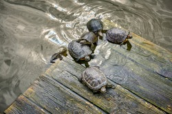 Turtles basking in the sun on a wooden platform in the water, top view