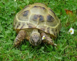 Turtles (Chelonia or Testudines) are an order of reptiles with a stocky and short body covered with protective bone shell, which clearly distinguishes them from all other reptiles.🐢