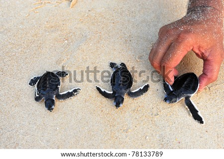 turtles give birth and get out from sand