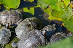 turtles in the lake basking in the sun