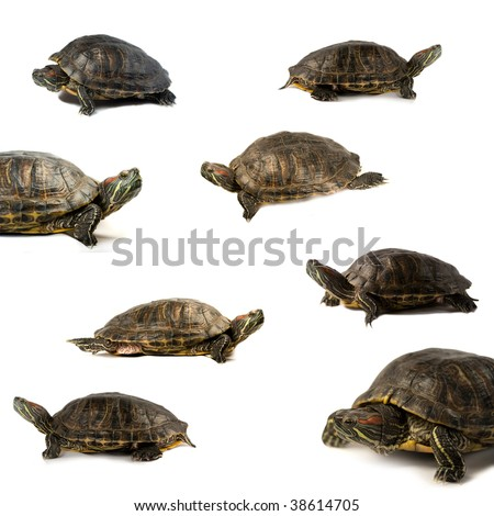 Turtles isolated on a white background.