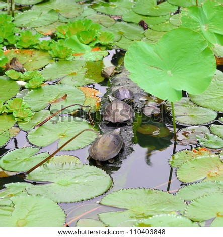 Turtles on a log in a lotus pond.