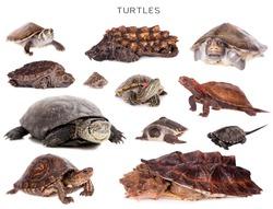 Turtles set isolated on white background