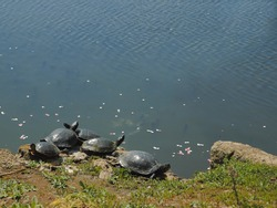 Turtles sunbathe by a pond. Sea turtles basking in the sun on a summer day. Animals in groups.