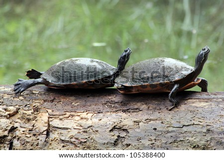 Turtles Sunbathing on a Log