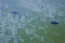 turtles swim in the dirty water of the lake