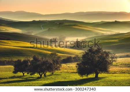 Tuscan fields and olive trees at sunrise in a mystical fog #300247340