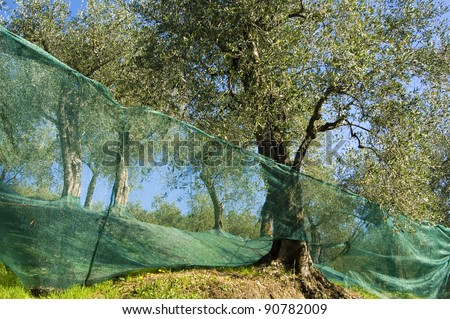 Tuscan olive harvest