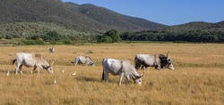 Tuscan summer landscape. Maremma cows grazing. Hilly landscape of the Maremma.