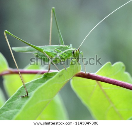 tuscany, big green locust, tettigonia viridissima, eats a green leaf of a plant