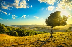 Tuscany countryside panoramic view, lonely windy olive tree, rolling hills and green fields on sunset. Pisa, Italy, Europe