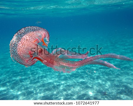 Tuscany, Italy. Pelagia noctiluca Jellyfish in the sea of Elba Island