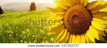 Tuscany sunflowers