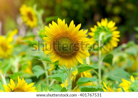 Tuscany sunflowers #401767531