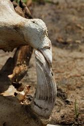 Tusk in hippopotamus skull, Okavango Delta, Botswana, Africa