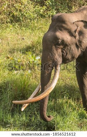 Tusker in the Kabini forest, India  Zdjęcia stock ©