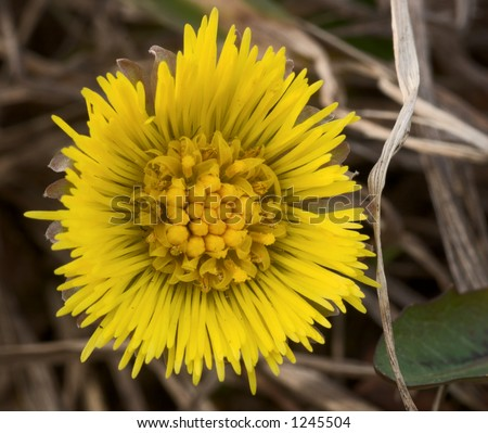 Tussilago Farfara (coltsfoot, foalfoot) flower