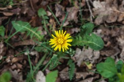 Tussilago flower in the forest