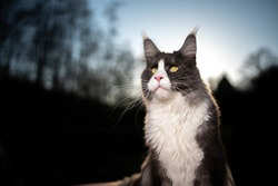 tuxedo maine coon cat portrait outdoors in nature on sunset with forest treeline in the background
