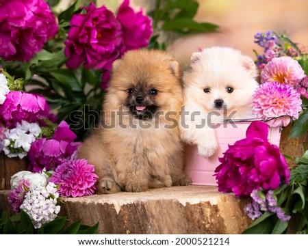 tvo Pomeranian Spitz,  White Spitz color and  Red Spitz  Stock foto ©