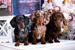 tvo Puppy dachshund, New Year's puppy, Christmas dog
