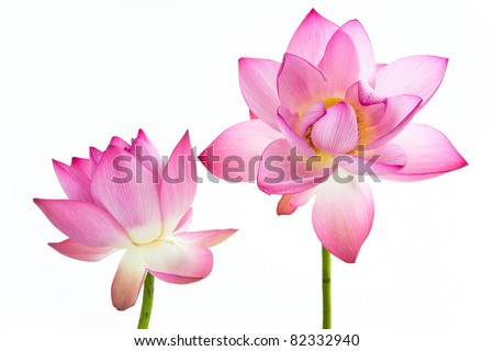 Twain pink water lily flower lotus and white background the lotus twain pink water lily flower lotus and white background the lotus flower mightylinksfo