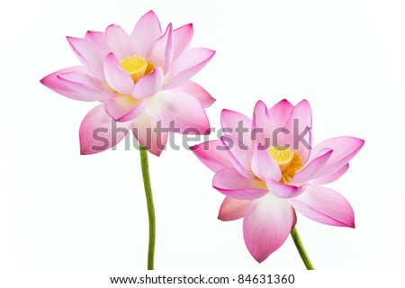 Twain pink water lily flower (lotus) and white background. The lotus flower (water lily) is national flower for India. Lotus flower is a important symbol in Asian culture.