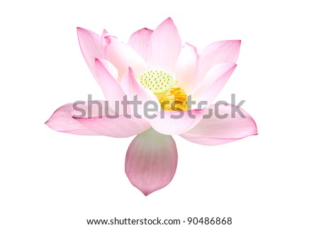 Twain pink water lily flower (lotus) and white background. The lotus flower (water lily) is a important symbol in Asian traditional culture.