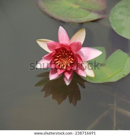 Twain pink water lily flower (lotus)? The lotus flower (water lily) is national flower for India. Lotus flower is a important symbol in Asian culture.