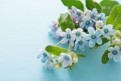 Tweedia, Small blue flowers