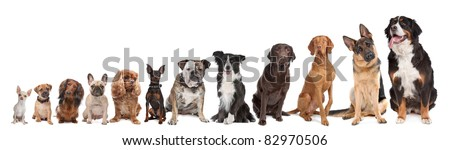 twelve dogs in a row. from small to large.on a white background - stock photo