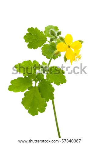 twig and flower  of Celandine