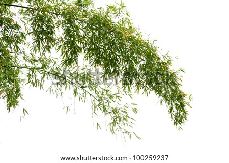 Twig leaves of bamboo tree in spring