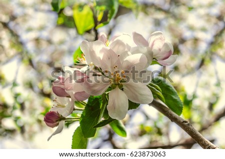 Twig of apple tree with large pink white flowers and gentle leaves twig of apple tree with large pink white flowers and gentle leaves mightylinksfo